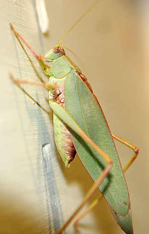Ensifera - A bush cricket or katydid