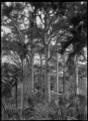 Kauri trees at Anawhata near Piha. ATLIB 292733.png