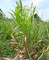 Kelapa sawit baru ditanam (25).JPG