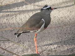 Kieb 2007-02-17 173 Kronenkiebitz Vanellus coronatus.jpg