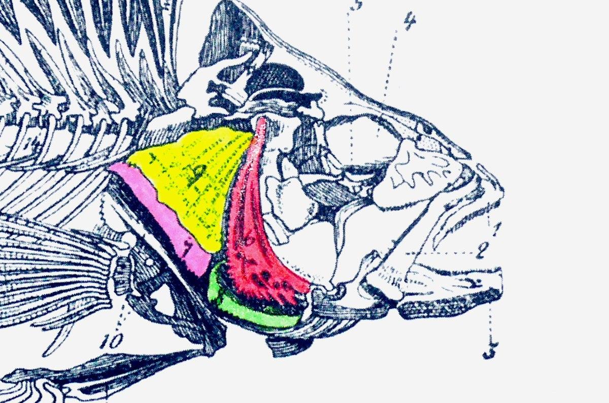 Operculum (fish) - Wikipedia