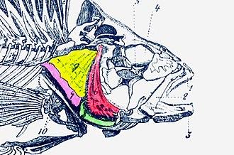 Operculum (fish) - Opercular series in bony fish: operculum (yellow), preoperculum (red), interoperculum (green) and suboperculum (pink)