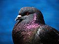 King Pigeon (4889321223).jpg
