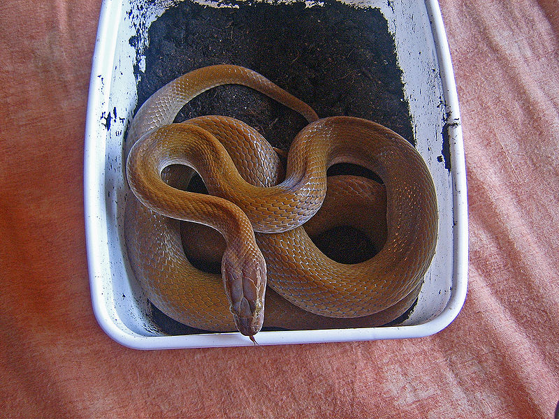 Patternless House Snake