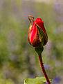 Knop Rosa 'La Sevillana'. Locatie, Tuinen Mien Ruys 02.jpg