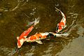 Koi at Japanese Garden - UH Manoa (5674161714).jpg