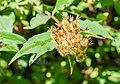 Kolkwitzia amabilis in La Jaysinia (4).jpg