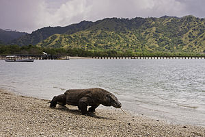 Lesser Sunda Islands - Komodo dragon at Komodo National Park