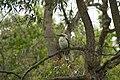 Kookaburra dangar-island.jpg