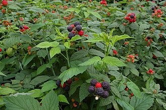 Rubus occidentalis - Image: Korean raspberry 2008