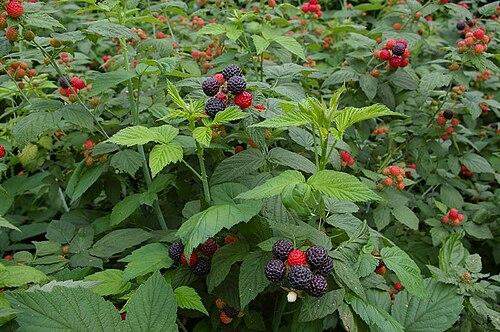 500px-Korean_raspberry_2008.jpg