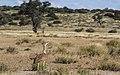 Kori bustard, Ardeotis kori, at Kgalagadi Transfrontier Park, Northern Cape, South Africa (33692668884).jpg