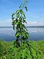 Korina 2011-05-20 Quercus rubra.jpg