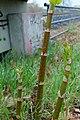 Korina 2017-04-04 Fallopia japonica.jpg