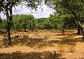 Korkeichenwald bei Evora01.jpg