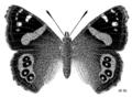 LEPI Nymphalidae Bassaris gonerilla.png