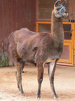"""Llamas such as this, which have two toes, are artiodactyls -- """"even toed"""" ungulates"""