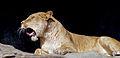 La lionne baille.jpg