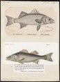 Labrax lupus - - Print - Iconographia Zoologica - Special Collections University of Amsterdam - UBA01 IZ12900071.tif