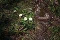 Lainzer Tiergarten März 2014 Gänseblümchen (Bellis perennis).jpg