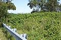 Lantana camara plant NC2.jpg