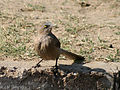 Large Grey Babbler I IMG 9619.jpg