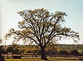 Large Oak Tree, Trent Park - geograph.org.uk - 889373.jpg