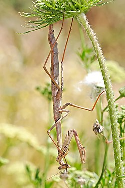 Large brown mantid