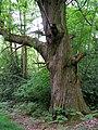 Large sweet chestnut tree in the Quar Hill Plantation - geograph.org.uk - 176307.jpg