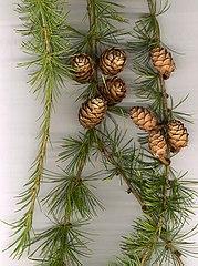 European Larch foliage and cones