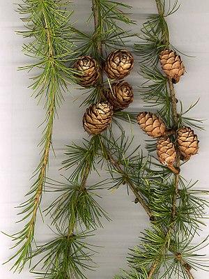 European Larch foliage and cones.