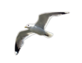 Larus canus 32 drop-shaddow transparent bg.png