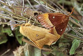 Lasiocampa quercus mating.jpg
