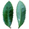 Leaves of Berberis julianae.jpg