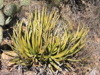 Lechuguilla Desert - Agave lechuguilla, a plant confined to the Chihuahuan desert that also uses this name.