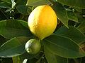 Lemon, DSCF2774.jpg