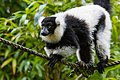 Lemur (24676908848).jpg