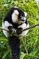 Lemur (25082476797).jpg
