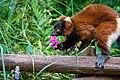 Lemur (35805577833).jpg