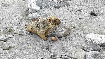 Lemur in Leh ladak 2.jpg
