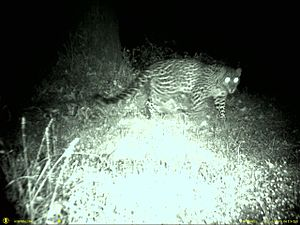 Camera trap - Indian leopard in the Garhwal Hills, Western Himalaya, India.