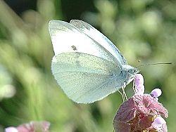 Lepidoptera 2005 spring 001.jpg