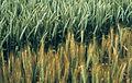 Les Plantes Cultivades. Cereals. Imatge 269.jpg