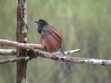 File:Lesser Coucal.ogv