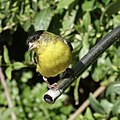 Lesser Goldfinch (32641021887).jpg