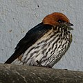 Lesser Striped Swallow (10563365386).jpg