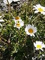 Leucanthemopsis alpina005.jpg