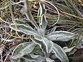 Leucheria hahnii-leaves.JPG