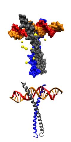 Днк полимераза, днк полимераза функции