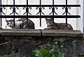 Libčice nad Vltavou, kostelní kočky.jpg